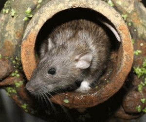 Rat in Drain Pipe